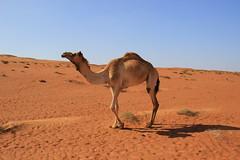 Camel in Wahiba Sands (olivier.monluc) Tags: desert sands oman wahiba ramlat sharqiya alwahiba