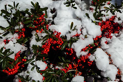 New Year, New Snow (Oh Kaye) Tags: california new snow berries odc