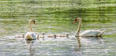 Proud Parents (Wes Iversen) Tags: nature water birds michigan swans ripples cygnets baycity lagoons hss baycitystaterecreationarea nikkor18300mm tobicolagoon sliderssunday