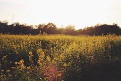 (Katimaay) Tags: flowers autumn sunlight plant nature field canon landscape 50mm bokeh herbst natur pflanze feld blumen landschaft goldenhour sonnenlicht goldenestunde canoneos1100d