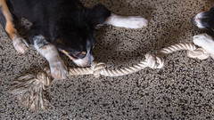 Two Doggy Tug 6/52 (Bas Bloemsaat) Tags: dog playing toy play sheepdog rope bordercollie playful 52weeksfordogs