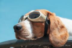 Classic Floyd Outtake (Paguma / Darren) Tags: dog goggles hound sunny floyd doggles