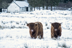 Highlands of Scotland in January (MacLeanPhotographic) Tags: snow mountains scotland cattle farm horns fujifilm glenorchy highlandcow xpro1