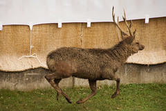 (kimtetsu) Tags: animal japan deer  tradition nara   narapark shika