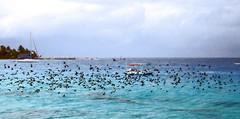 reef Hotel KIAORA Tahiti Rangiroa3 (sapphire_rouge) Tags: france resort lagoon tahiti atoll rangiroa polynesia snorkeling  franchpolynesia    atool polynsiefranaise  island kiaora