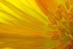 Yellow (fxdx) Tags: flower yellow close stamen poppy inside