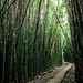 Boardwalk through the bamboo forest