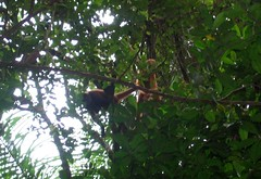 Dangling Monkeys