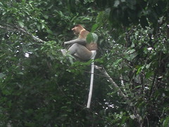 Proboscis Monkey on Kinabatagan