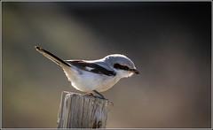 Great Grey Shrike (Northern) Explored 10/2/2015 (Smudge 9000) Tags: uk winter birds grey kent wildlife shrike northernshrike laniusexcubitor 2015 greatgreyshrike chilham