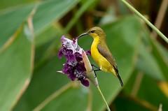 Olive-backed Sunbird  female ----(Nectarinia jugularis) (creaturesnapper) Tags: sunbirds birds singapore nectariniajugularis olivebackedsunbird female flickrbirds