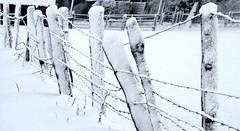 Stacheldraht-Zaun; Bergenhusen, Brunsholm (105a ) (3) (Chironius) Tags: stapelholm bergenhusen schleswigholstein deutschland germany allemagne alemania germania германия niemcy winter schnee landwirtschaft
