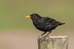 blackbird (colin 1957) Tags: birds blackbird lynford