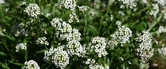 ALYSSUM (dig dave) Tags: winter white flower green garden photo february alyssum 2015