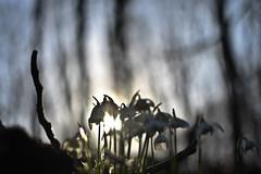 Sunlight Butterfly (pogmomadra) Tags: trees light sun butterfly wednesday woods nikon bokeh flare snowdrop hbw d5300