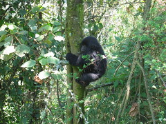 Gorilla Child Climbing a Tree
