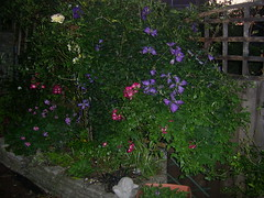 Garden early evening (thompson_nigel57) Tags: flowers roses nature wales garden photography cardiff clematis