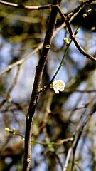 Shy flower (hobbyphoto18) Tags: mars white france flower nature fleur march branch pentax branches shy blanche nordpasdecalais k50