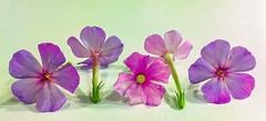 Sweet William (tisatruett) Tags: pink stilllife flower leaf colorful pretty pattern purple blossom vibrant stems