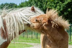 """Hello mum, I love you!"" (Janne Fairy) Tags: horse pony pferd tier tiere animal animals canon canon500d eos500d foal fohlen pferde paard paarden"
