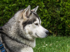 Crystal Mika (d@neumi) Tags: dog hund siberianhusky siberian husky portrait portrt animal panasonic lumix g7 garten