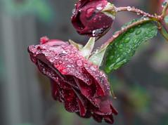 No Sun. (Omygodtom) Tags: raindrop rose waterdrops outdoors july abstract tamron90mm texture natural nikon d7100 nikkor flower flickr macro macromonday bokeh
