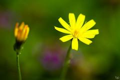 Flowers in a green field - HMM (Ben Pillen Photography) Tags: flower macro opposite monday mm ben pillen photography garden green outside outdoor nature two