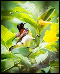 Brown-throated sunbird (Surendhar Mudaliar Photography) Tags: bird sunbird brown throated
