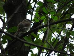 Eastern Phoebe (gmspanek) Tags: eastern phoebe
