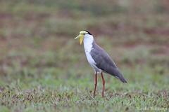 Masked Lapwing (Vinchel) Tags: singapore marina barrage outdoor nature wildlife animal bird canon 5dsr 400mm