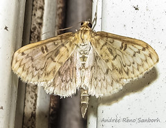 Bold-feathered Grass Moth - Hodges#5275 (Herpetogramma pertextalis) (July 26, 2016) (5 of 6) (Andre Reno Sanborn) Tags: boldfeatheredgrassmoth boldfeatheredgrassmothhodges5275herpetogrammapertextal herpetogrammapertextalis hodges5275 barton vermont unitedstates boldfeatheredgrassmothhodges5275herpetogrammapertextalis