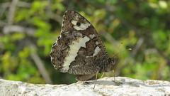 Le siléne (bernard.bonifassi) Tags: bb088 06 2016 thiery counteadenissa papillon lesiléne insecte alpesmaritimes