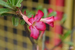Have a good day! (choong mun) Tags: pink malaysia bentong green leaf mzuiko45mm panasoniclumixg nature summer red outdoor flower