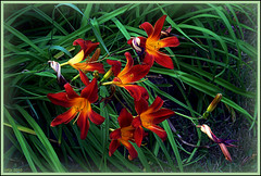 Tired with the Sun (Irina Kiseleva) Tags: six nature sun flower leaf shadow color red green black plant photoborder