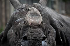 Rhino at Edinburgh Zoo (nodb652) Tags: rhino zoo edinburghzoo edinburgh scotland animal nikon d3300 nikond3300