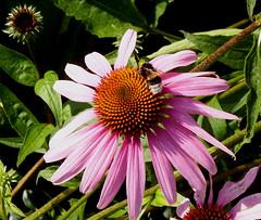 Zonnehoed 2015 3 (megegj)) Tags: flower fleur blume fiore gert bloem