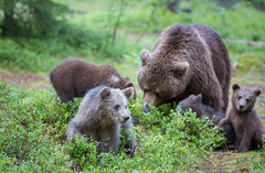 One of four (MatsOnni) Tags: 2016 nisäkkäät karhu brownbear fourcubs mammals martinselkonen suomussalmi finland