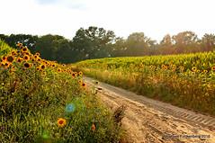 Sonnenanbeter (grafenhans) Tags: sonnenuntergang sony alpha 55 sonne slt feldweg gegenlicht sonnenblumen a55 sandwste alpha55 slt55