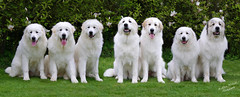 Mother, brother, sisters & pups (Adam Wil) Tags: dog dogs animal animals cane pastoral beautiful big chien pyrenean pet pentax pyreneanmountaindog pedigree perro pentaxkr pets portrait patou hond mountain fur white fantasticnature