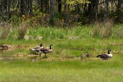 2016-07-17 Rachael Carson NWR (94) (Paul-W) Tags: vacation birds river march marine walk maine wells hike estuary trail saltmarsh saltpan 2016 rachelcarsonnationalwildliferefuge