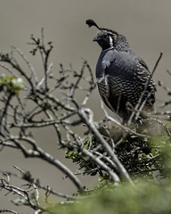 Quail on a Bush (lennycarl08) Tags: california birds marincounty quail pointreyesnationalseashore californiaquail