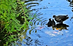 Sois unos desobedientes, nios! (Franco DAlbao) Tags: francodalbao dalbao fuji pollasdeagua moorhens aves birds agua water animales familia family educacin education charla chat lago lake