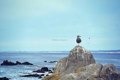 Pacific Grove seagull 1 (Helene Iracane) Tags: fauna pacific grove sea ocean seagull seagulls gull gulls mouette mouettes gris grey gray bird birds feather feathers rock rocks rocher rochers waterscape sky ciel bleu blue monterey