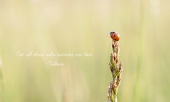 be brave little ladybug (Ginny Williams Photography) Tags: bug ladybug orange macro micro tiny little meme quote tolkein jrrtolkein lordoftherings travel insect bokeh nikon ncphotographer northcarolinaphotographer nc photography nature animals takeoff fly courage dare dream whimsical beautiful