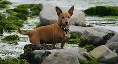 30/52 Salty Sausage Sea Dog (jump for joy2010) Tags: uk england somerset kilve beach dogs terrier jackrusselldachshund jachshund small brown chum charlie 52weeksfordogs week30 july 2016