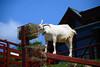 2016 北海道D6 4x6 3412 (chaochun777) Tags: 北海道 旭山 動物園 露營 自由行 猴子 長臂猿 猩猩 雲豹 花豹 老虎 獅子 北極熊 企鵝