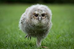 My new best buddy (susie2778) Tags: libertys captive ringwood birds owl tawnyowl owlet running