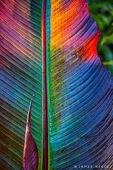 Color Vision (James Neeley) Tags: ethiopianbanana leaf london hydepark jamesneeley