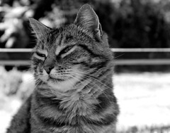sleepy (Z) Tags: chat cat cute tabby tigre tiggy katze kot kitty gato gatto sleepy black bw blanc white noir noirblanc snooze