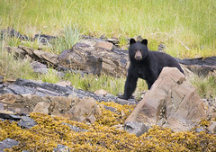 IMG_0704 (sofk69) Tags: bear blackbear alaska